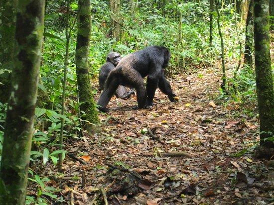 Kibale- Forests-Chimpanzee-uganda