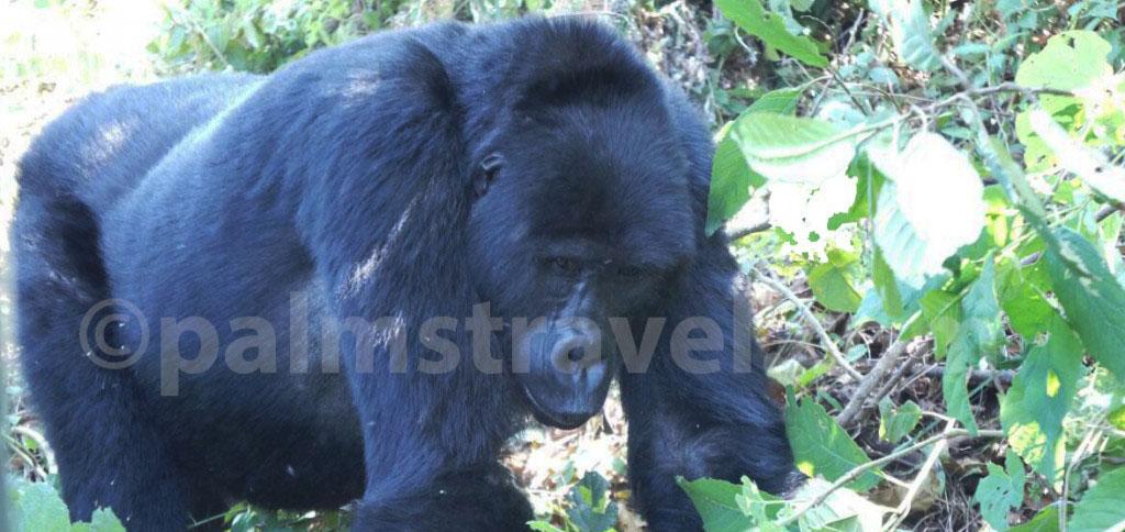 Chimpanzee-tracking3-1024x768