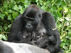 gorillas-1