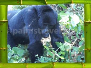 Chimpanzee-trackingbambooframe-1024x768