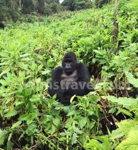 Gorila in Bwindi