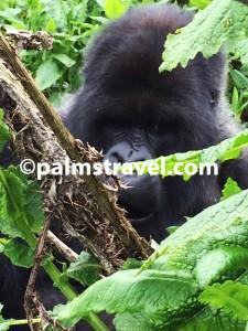 Chimpanzee-Primates