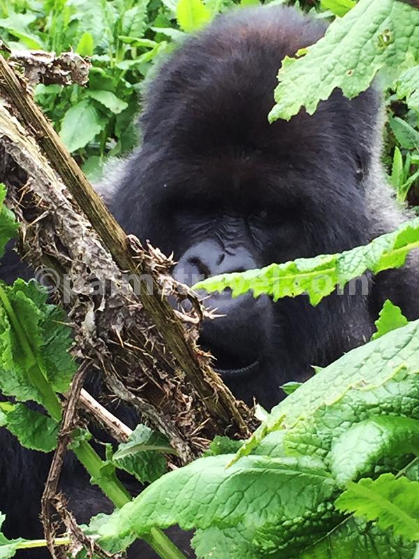Chimpanzee-Travel Palms