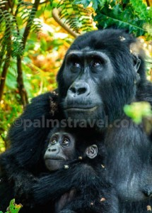 Chimpanzee-tracking