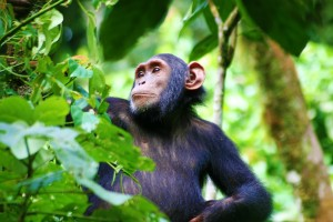 kibale-chimpanzee-Africa